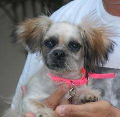 Texas Shih Tzu Rescue Adoptions Rescuemeorg | Pomsky Puppies Gallery
